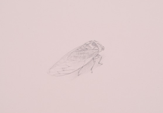 2014 Bush Cicada (Tibicen dorsatus), 2015, silverpoint on prepared paper, 5 x 7 inches (sheet size)