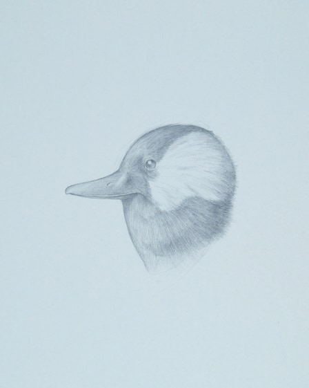 Bufflehead (Bucephala albeola), 2016, silverpoint on prepared paper, 10 x 9 inches (sheet size)