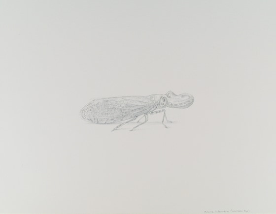 Lantern Fly (Fulgora laternaria), 2017, silverpoint with palladium on prepared paper, 7.25 x 9 inches (sheet size)