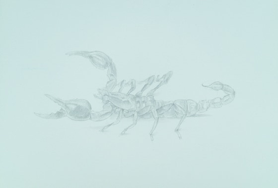 Giant Scorpion (Heterometrus spinifer), 2017, silverpoint on prepared paper, 6 1/2 x 9 inches (sheet size)