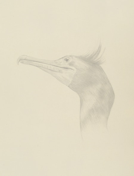Cormorant (Phalacrocorax auritus), 2014, silverpoint on prepared paper, 15 x 11 inches  (sheet size)