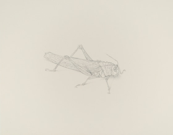 Giant Grasshopper (Tropidacris dux, Anteriolateral View), 2017, silverpoint on prepared paper, 7 x 10 inches (sheet size)