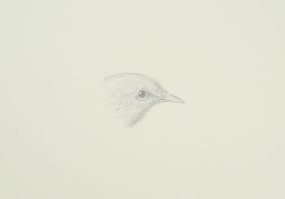 Northern White-eye (Zosterops palpebrosus), 2014, silverpoint on prepared paper, 7 x 11 inches (sheet size)